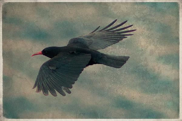 soaring chough