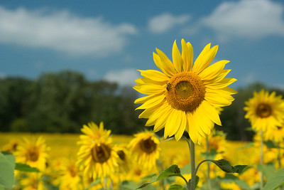 sunflowers14-5751
