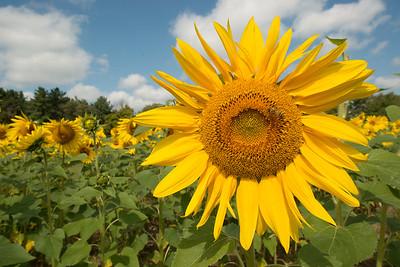 sunflowers14-5567