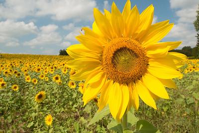 sunflowers14-5893