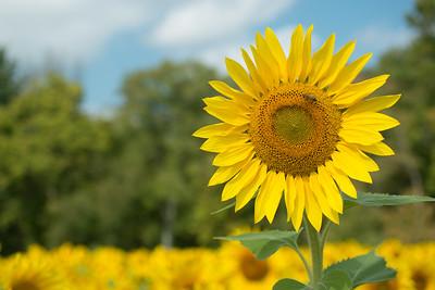 sunflowers14-5501