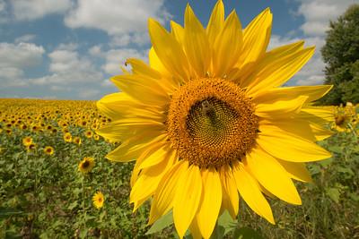 sunflowers14-5867