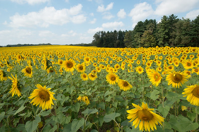sunflowers14-5568