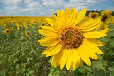 sunflowers14-5846