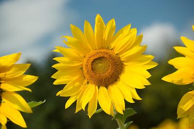 sunflowers14-5678