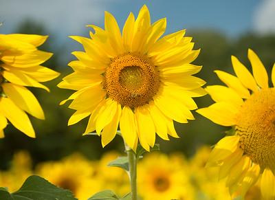 sunflowers14-adjusted2-5692