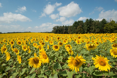 sunflowers14-5549