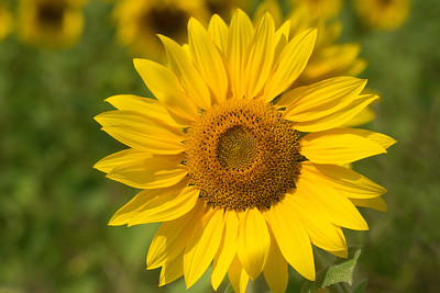 sunflowers14-5822