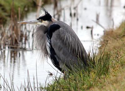 Great Blue Heron   Older Adult