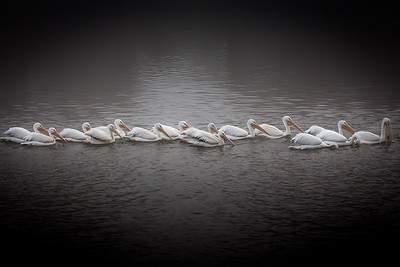 Pelicans on the Lake, Baton Rouge, La. 2012