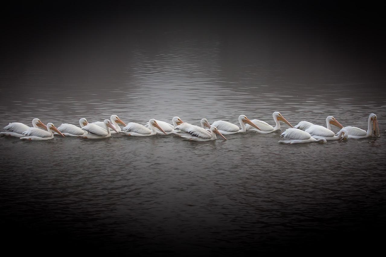 Pelicans on the Lake, Baton Rouge, La. 2012