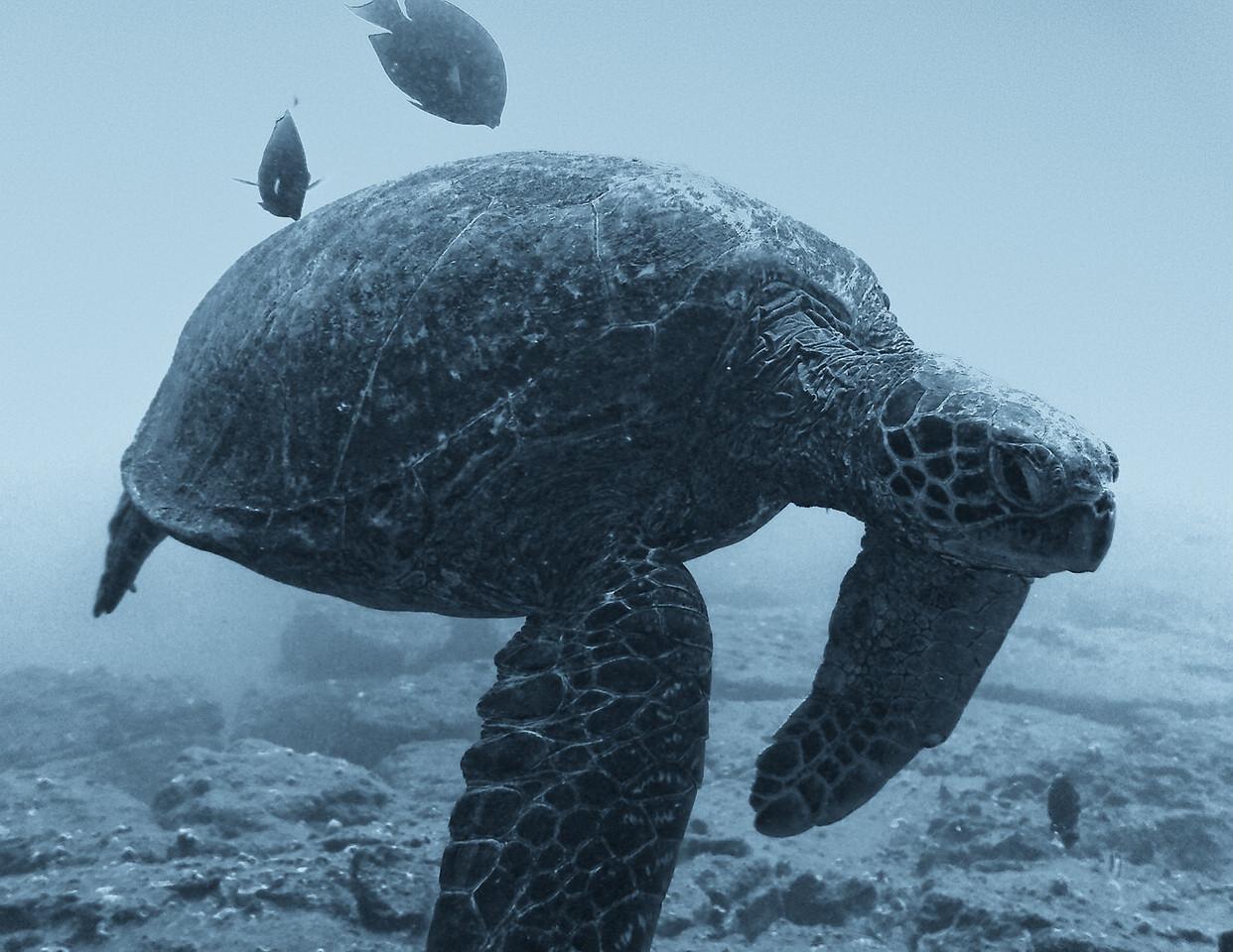 "August<br /> <br /> ""Under the Waves""<br /> Green Sea Turtle<br /> Turtle Reef, Kauai, Hawaii"