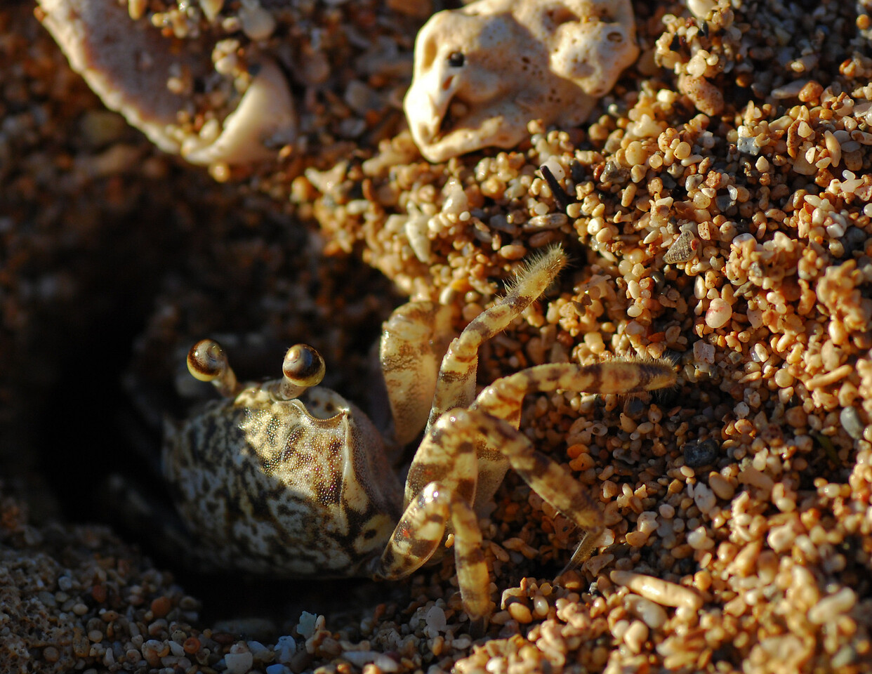 """February<br /> <br /> """"Beachcomber""""<br /> Crab<br /> Salt Pond Beach, Kauai, Hawaii"""