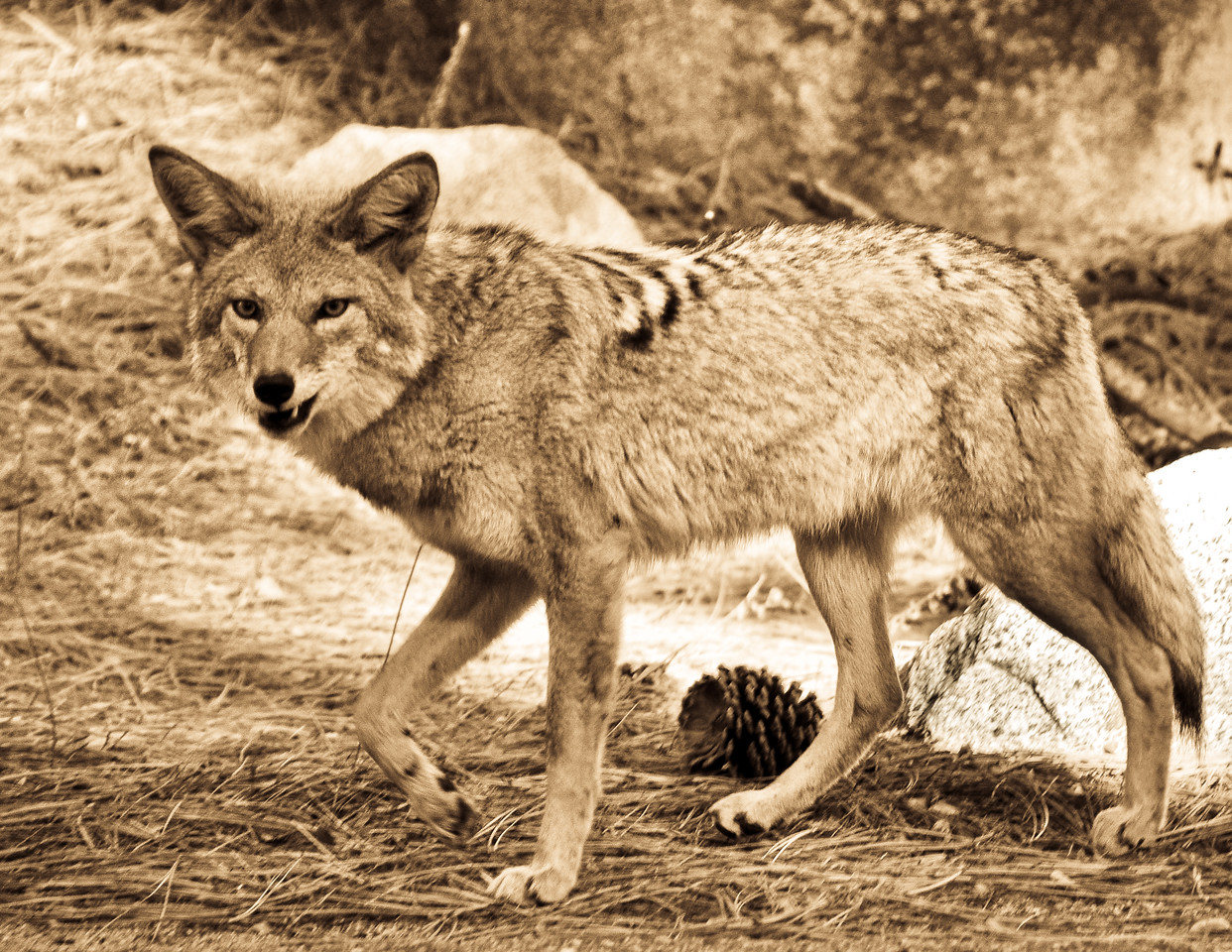 """January<br /> <br /> """"Snarl""""<br /> Coyote<br /> Sequoia National Park, California"""
