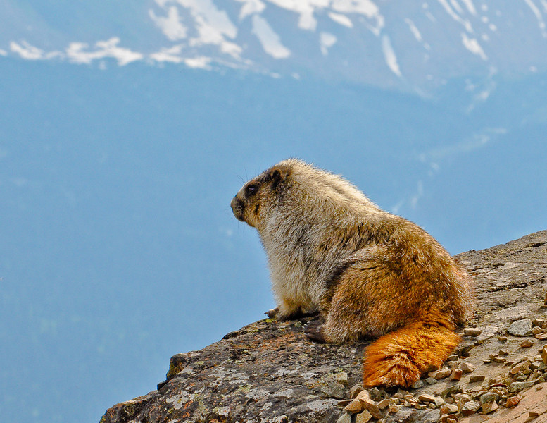 February<br /> <br /> Marmot<br /> Glacier National Park, MT<br /> <br /> Photo by Dan!