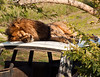 September<br /> <br /> African Lion<br /> San Diego Zoo Safari Park, CA