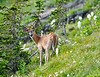 June<br /> <br /> White-tailed Deer<br /> Glacier National Park, MT<br /> <br /> Photo by Dan!