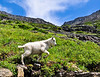 April<br /> <br /> Mountain Goat Kid<br /> Glacier National Park, MT