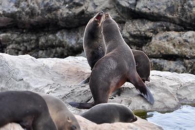 Fur Seals Ohau Point, New Zealand