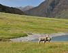 Lambs<br /> Matukituki River, New Zealand