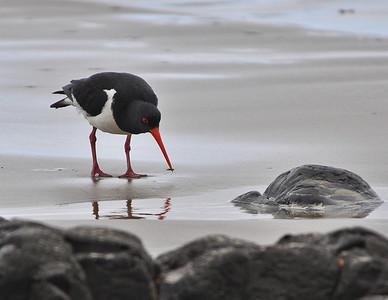 Pied Oystercatcher Koekohe Beach, New Zealand