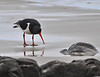 Pied Oystercatcher<br /> Koekohe Beach, New Zealand