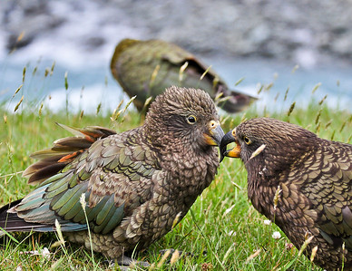 Kea (Alpine Parrots) Matukituki River, New Zealand