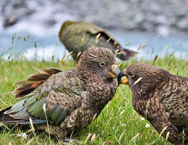 Kea (Alpine Parrots) Matukituki River, New Zealand