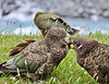 Kea (Alpine Parrots)<br /> Matukituki River, New Zealand