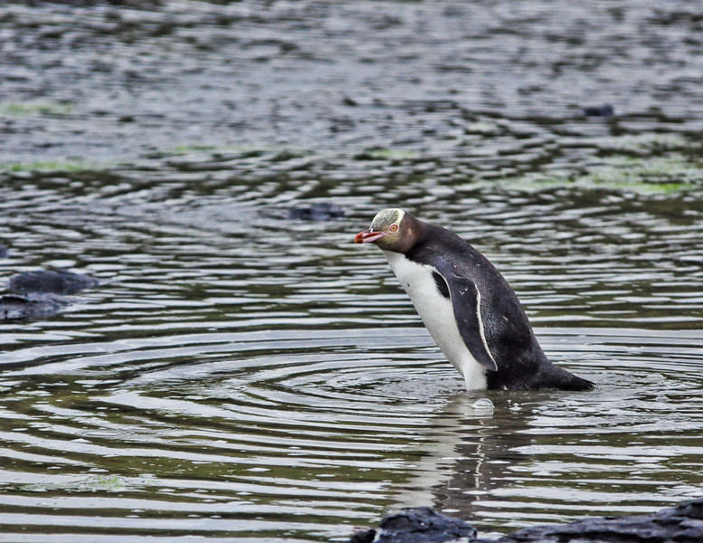 Yellow-Eyed Penguin<br /> Curio Bay, New Zealand
