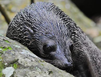 Fur Seal Pup Ohau Point, New Zealand