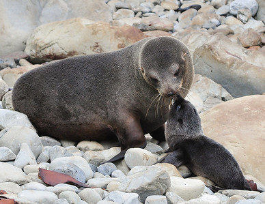 Fur Seal and Pup Ohau Point, New Zealand