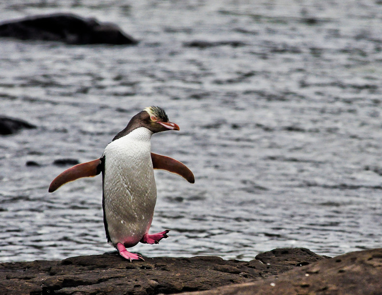 Yellow-Eyed Penguin<br /> Curio Bay, New Zealand