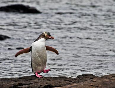 Yellow-Eyed Penguin Curio Bay, New Zealand