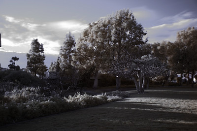 "Taken in my neighborhood park using a 720 nm infrared filter and converted to ""false color"" using the standard blue/red channel swap."