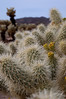 more cholla cacti
