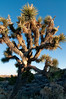 the eponymous joshua tree