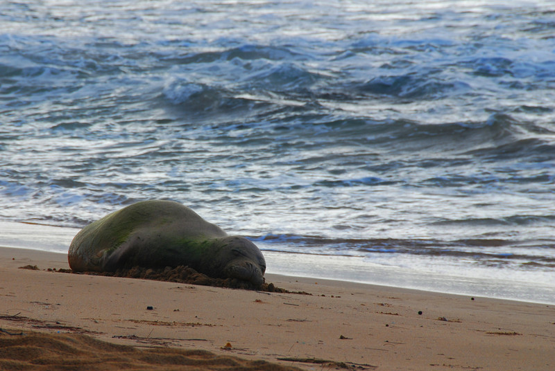 endangered monk seal