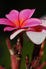 hot pink plumeria