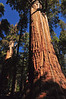 chief sequoyah tree in front of president tree