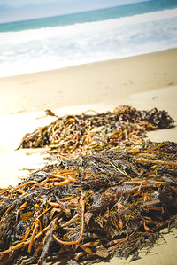 Kelp n' the Sea