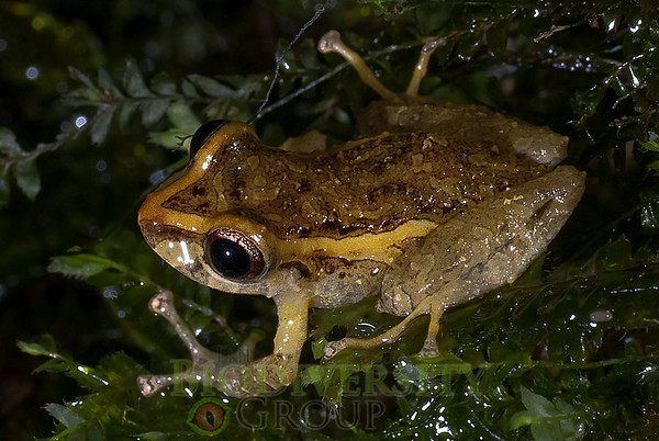[RAEI_PaulSHamilton_DSC02542] Jama Coaque Reserve, Manabi Province, Ecuador