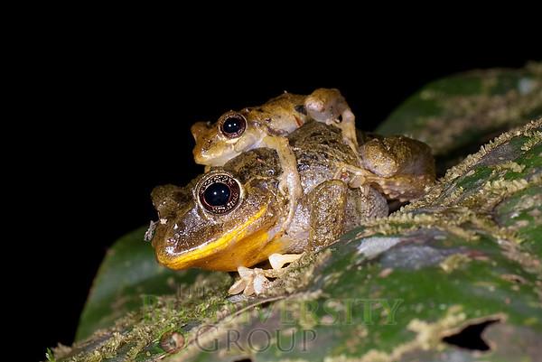 [RAEI_PaulSHamilton_DSC02551] Jama Coaque Reserve, Manabi Province, Ecuador