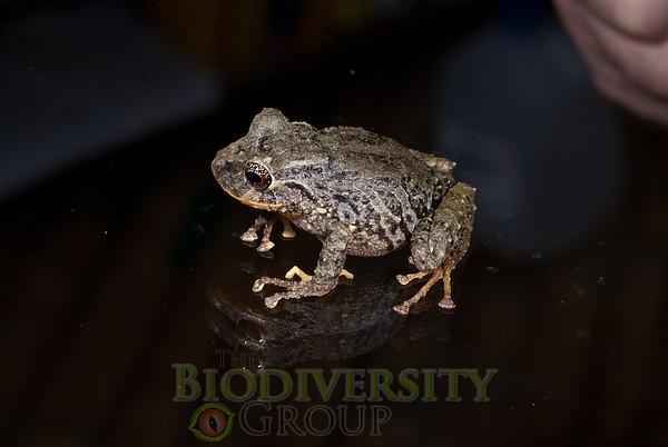 [RAEI_PaulSHamilton_DSC02556] Jama Coaque Reserve, Manabi Province, Ecuador