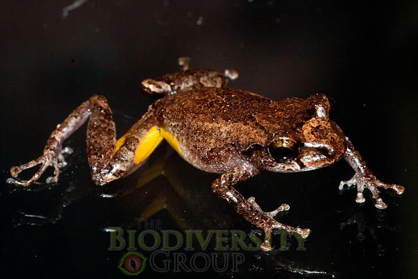 [RAEI_PaulSHamilton_IMG_8900] Bosque Protector La Perla (just S of La Concordia), Esmeraldas Province, Ecuador