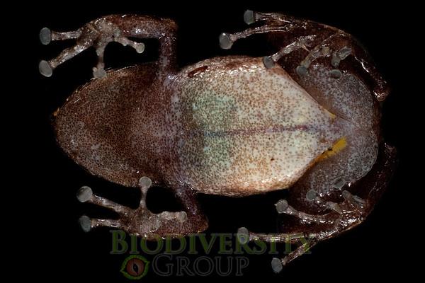 [RAEI_PaulSHamilton__DSC4687] Bosque Protector La Perla (just S of La Concordia), Esmeraldas Province, Ecuador