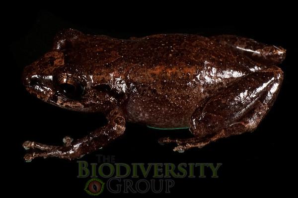 [RAEI_PaulSHamilton__DSC4684] Bosque Protector La Perla (just S of La Concordia), Esmeraldas Province, Ecuador