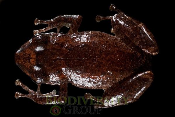[RAEI_PaulSHamilton__DSC4686] Bosque Protector La Perla (just S of La Concordia), Esmeraldas Province, Ecuador