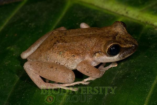 [RAEI_PaulSHamilton_DSC05307] Bosque Protector La Perla (just S of La Concordia), Esmeraldas Province, Ecuador