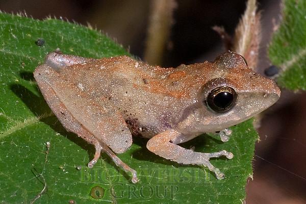 [RAEI_PaulSHamilton__DSC5841] Bosque Protector La Perla (just S of La Concordia), Esmeraldas Province, Ecuador